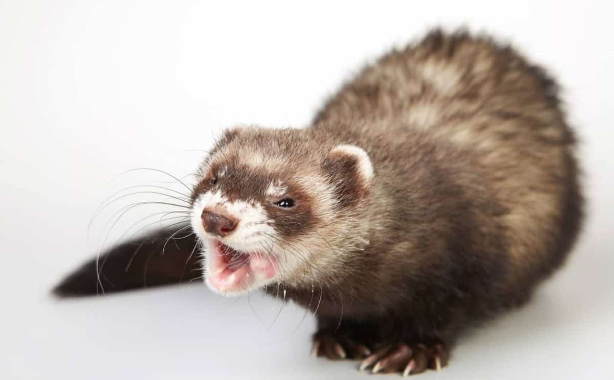 Ferret Behavior: What is Your Ferret Expressing? (with ...